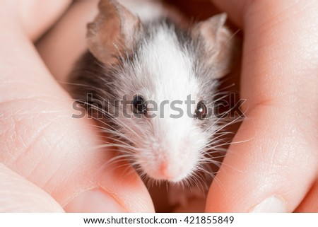 Black and white rat on human hands - stock photo