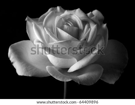 black and white rose in bloom over black background - stock photo
