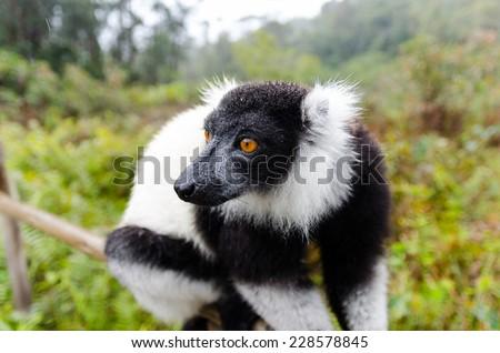 Black and White Ruffed Lemur in Andasibe Park Madagascar - stock photo