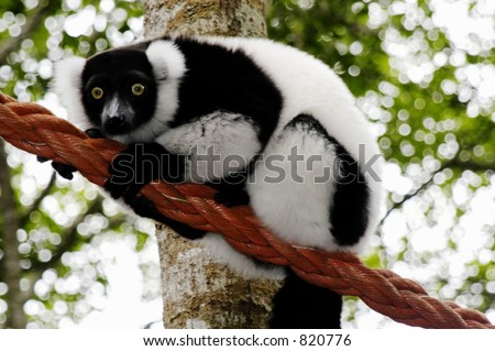 Black and White Ruffled Lemur (Varecia Variegata) at Monkeyland, South Africa, near the Tsitsikamma Forest which it situated on the Eastern Cape Garden Route