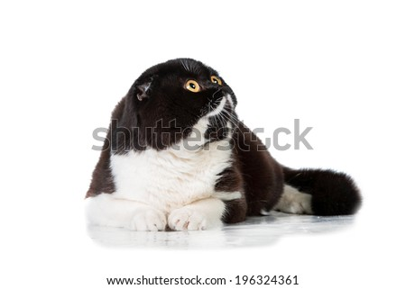 Black and white scottish fold lying - stock photo