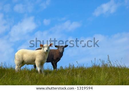 Black and white sheep - stock photo