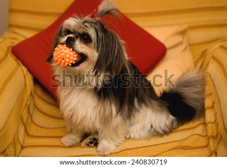 Black and white Shih Tzu dog, on the armchair, holding a ball.