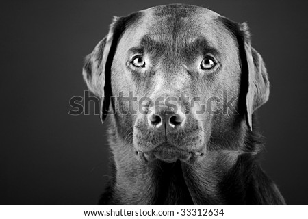 Black and White Shot of a Striking Labrador
