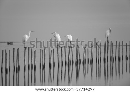 Black and white shot of egrets resting on pilings in the water at the Blackwater Wildlife Refuge in Maryland.
