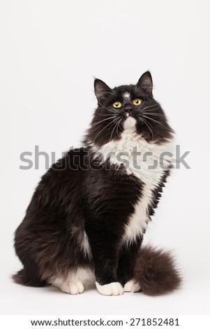 Black and white siberian cat - stock photo
