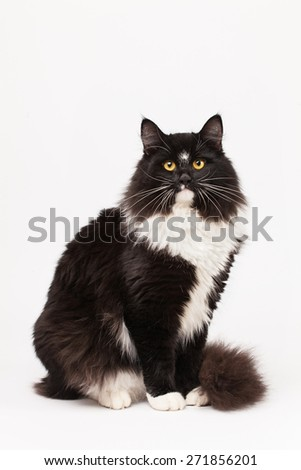 Black and white siberian cat - stock photo