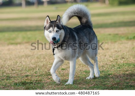 Black and white Siberian Husky walking on grass at park while looking right.