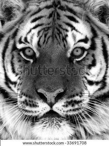 Black and White Siberian Tiger Portrait - stock photo