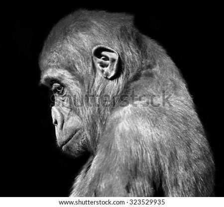Black and white side face portrait of sad young gorilla male, isolated on black background.