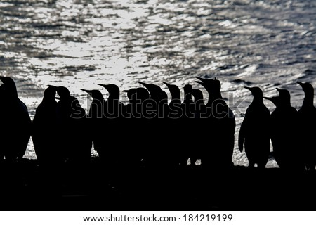 Black and white silhouette of king penguins with ocean background - stock photo