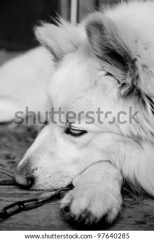 Black and white sleeping dog. - stock photo