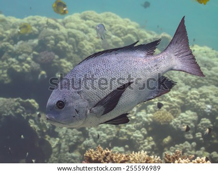 Black and white snapper (Macolor niger) swimming over the coral reef in the sea, closeup, selective focus on eyes - stock photo
