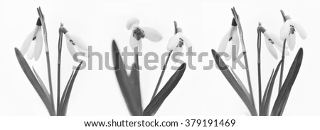 Black and white Snowdrops isolated on white background for easy cut out / the first flowers this year / blooming