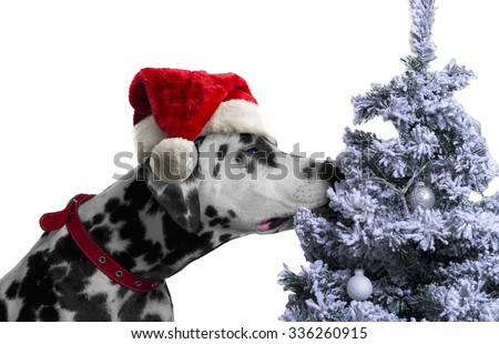 Black and white spotted dog breed Dalmatian in a Santa Claus hat curious sniffing a Christmas tree with toys covered with snow balls - stock photo