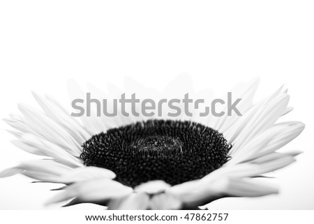 Black and white Suflower on a white background - stock photo