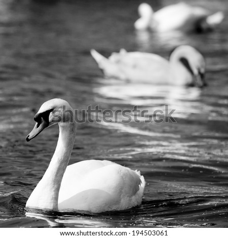 Black and White Swan on a River - stock photo