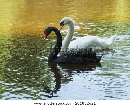 Black and White Swans - stock photo