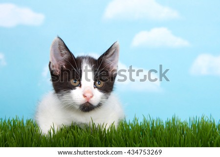 black and white  tabby kitten in tall grass with blue sky background white fluffy clouds. crouched down to pounce - stock photo