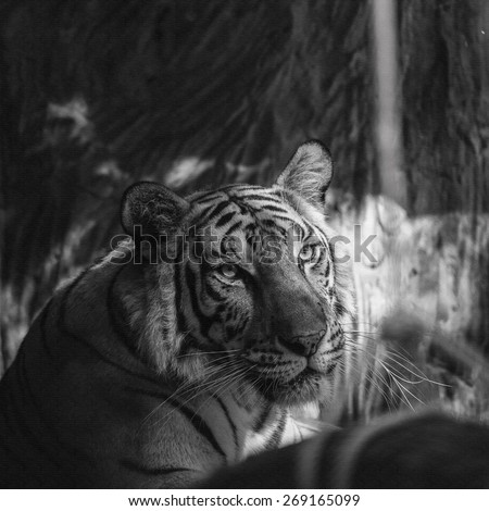 Black and white tiger on canvas texture. - stock photo