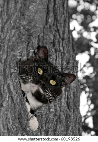 Black and white tuxedo cat with striking eyes in color against gray scale background - stock photo