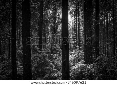 black and white view of the pine trunks in backlight - stock photo