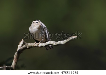 Black-and-white warbler (Mniotilta varia) on branch, Edwin B. Forsythe National Wildlife Refuge, New Jersey, USA