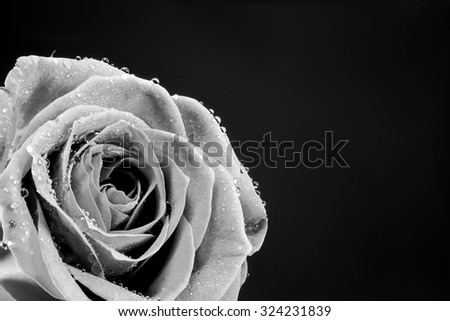 Black and white wet Rose Isolated on black background - stock photo