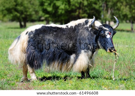 Black and white yak - stock photo