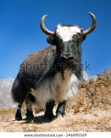 Black and white Yak - bos grunniens or bos mutus on the way to Everest base camp and mount Pumo ri - Nepal  - stock photo