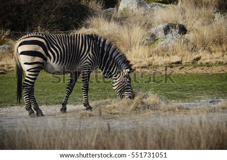 Black and white Zebra eating hay in zoo, France