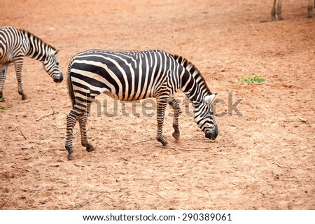 Black and white Zebra in the zoo