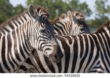 Black and white Zebras - stock photo