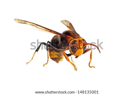 Black and Yellow Asian Hornet isolated on white - stock photo