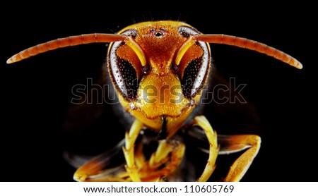 Black and Yellow Asian Wasp in extreme close up, Narrow focus. - stock photo