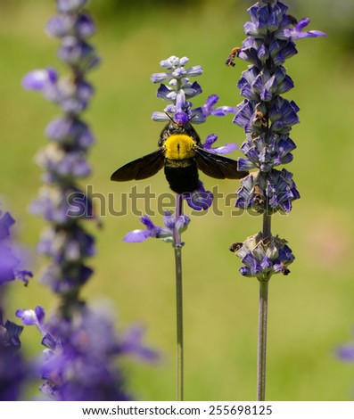 Black and yellow Bumble bee (Bombus terrestris) collecting nectar and pollen from purple lavender flowers