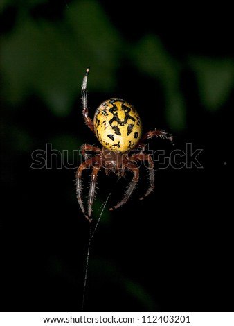 Black and Yellow Garden Spider - stock photo
