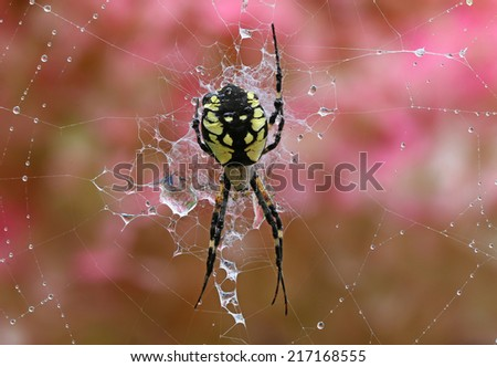 Black and yellow garden spider on web.  - stock photo