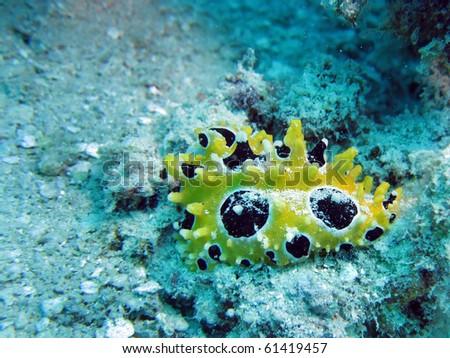 Black and Yellow Nudibranch - stock photo