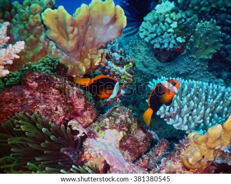 Black anemone fishes