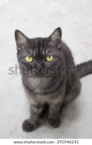 Black angry cat looking at the camera - face focus