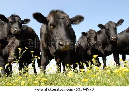 Black Angus and Buttercups at Crow Farm - stock photo