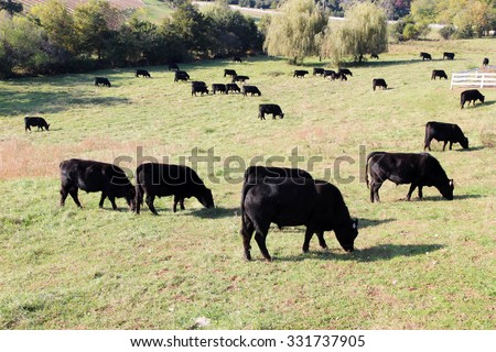 Black Angus beef cattle grazing in a pasture, Virginia - stock photo