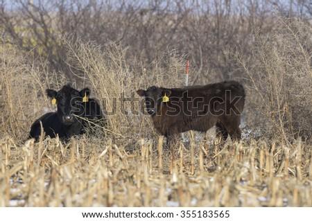 Black Angus calves on a South Dakota Ranch - stock photo