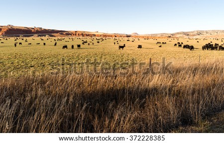 Black Angus Cattle Graze Large Ranch Wyoming Domestic Animal - stock photo
