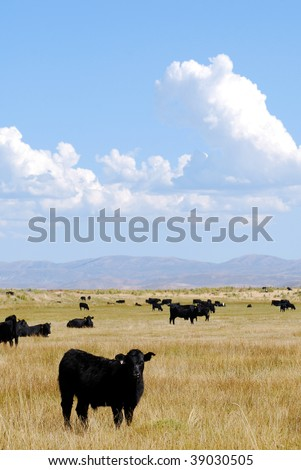 Black Angus cattle grazing in an open pasture with blues skies and clouds. - stock photo