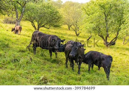 Black angus cattle in a green pasture in Norway. In the late afternoon, a bull calf drinks milk from his mother.  - stock photo