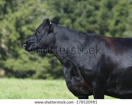 Black Angus Cow - stock photo