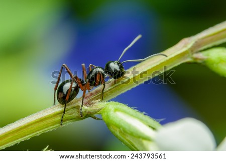 Black Ant crawling on branches