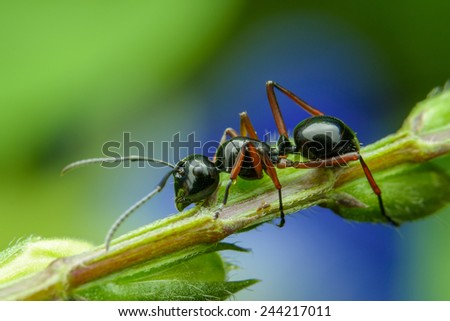 Black Ant Crawling on branches - stock photo